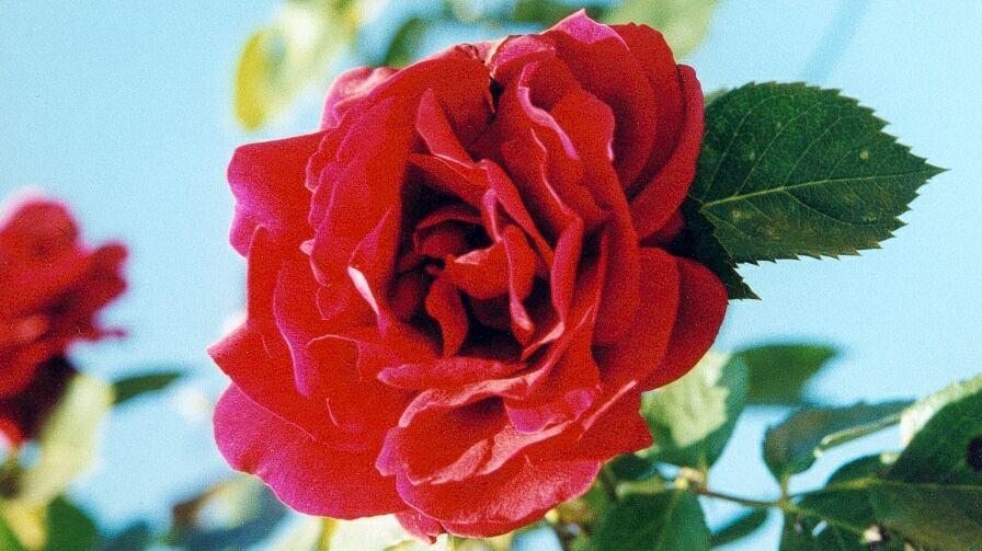 Eine Rose für dich...