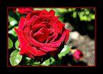 Eine Rose für Dich....