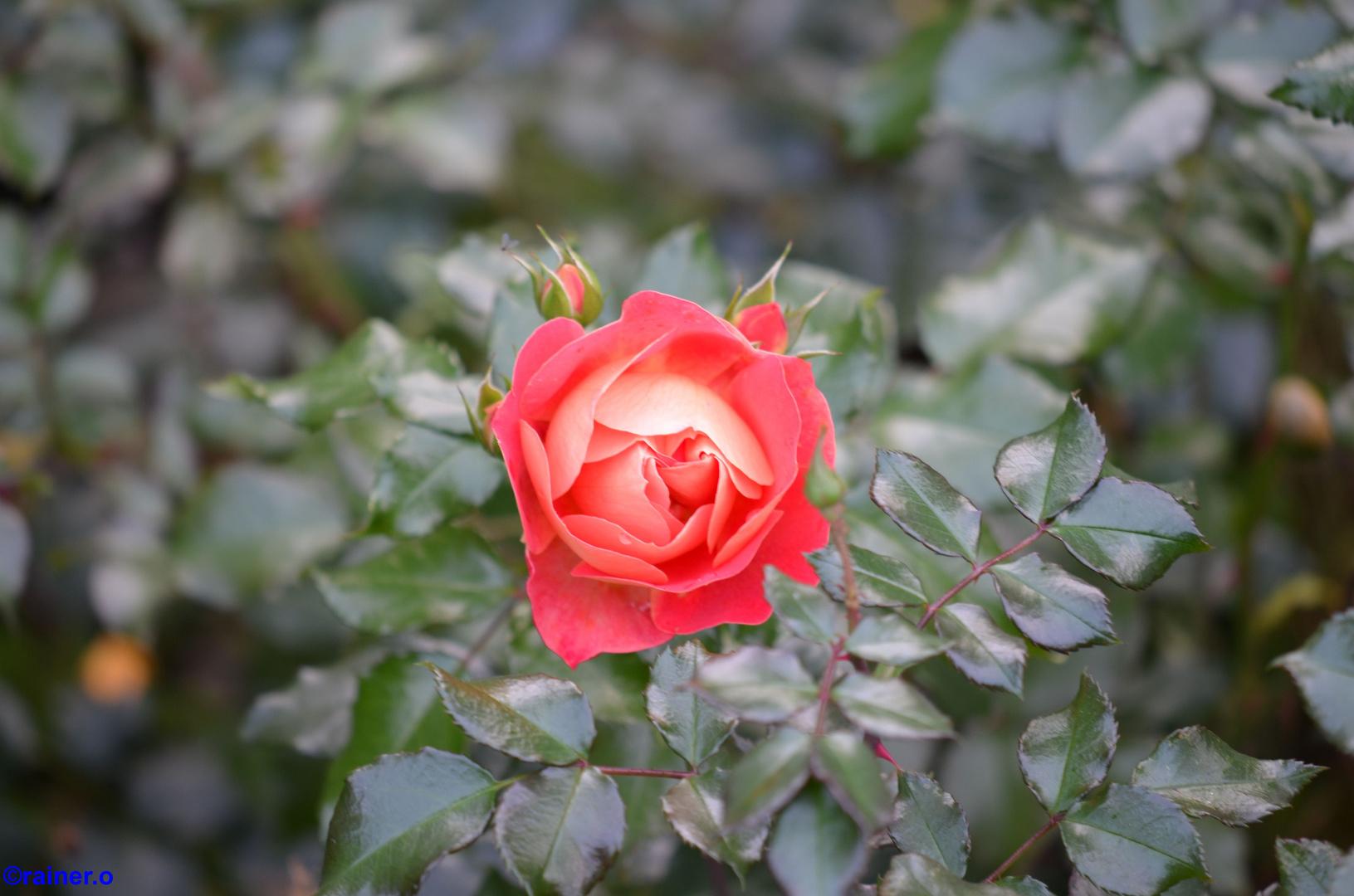 eine rose für die frauen...