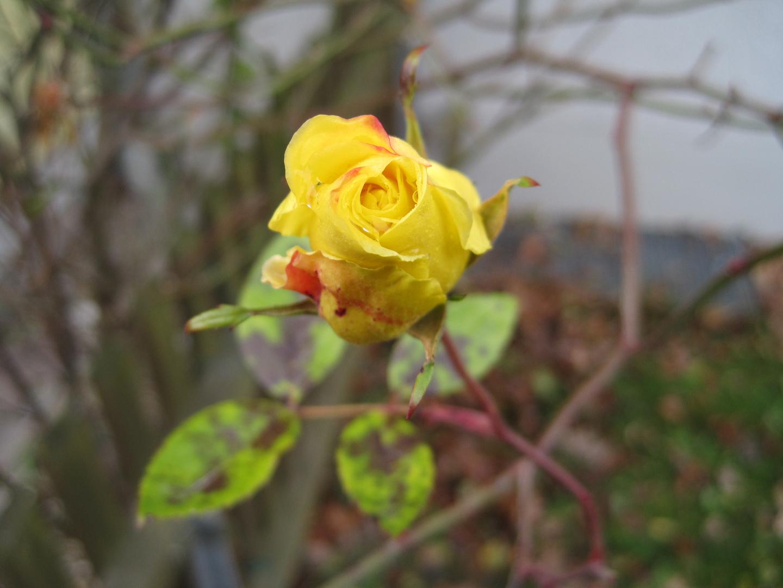 Eine Rose für euch