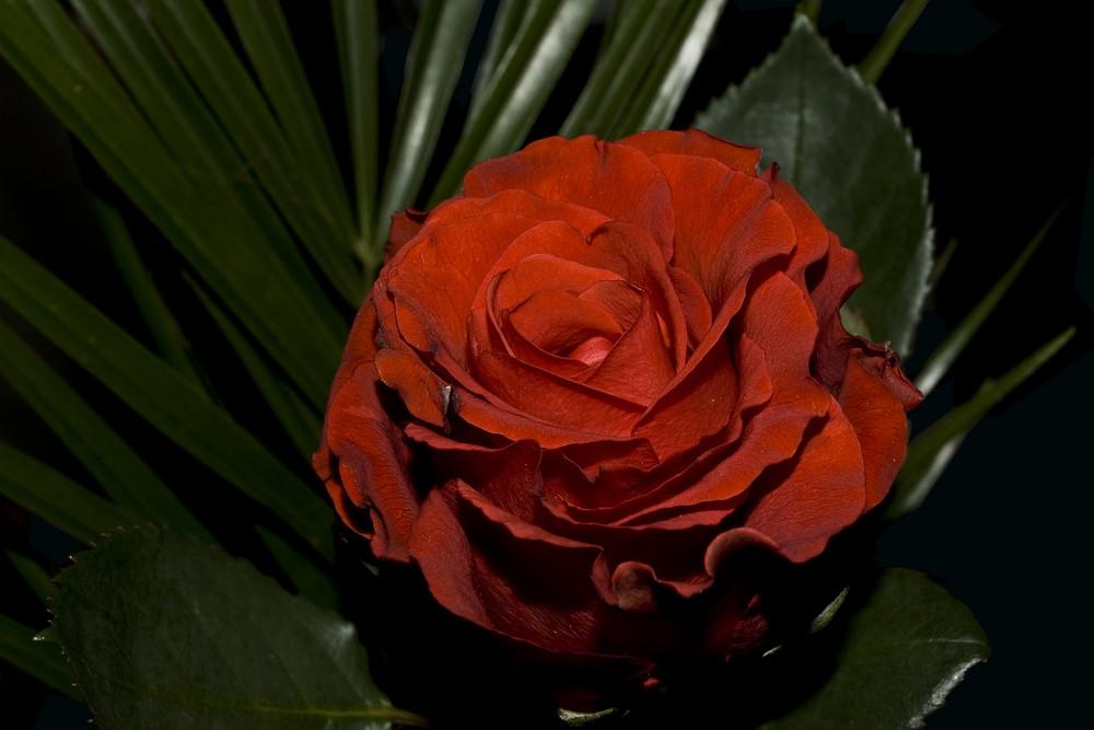 Eine Rose für meinen Schatz