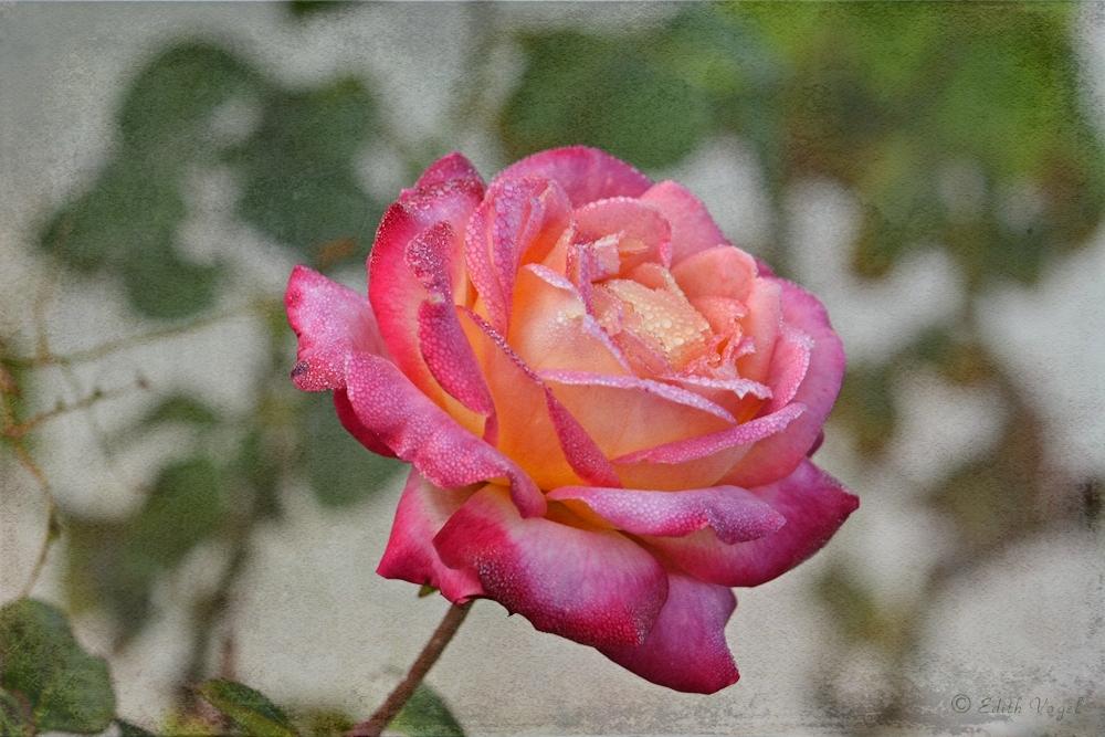 eine Rose im Morgentau