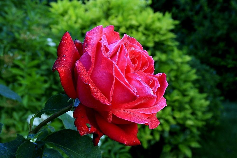 Eine Rose in der Morgenstunde