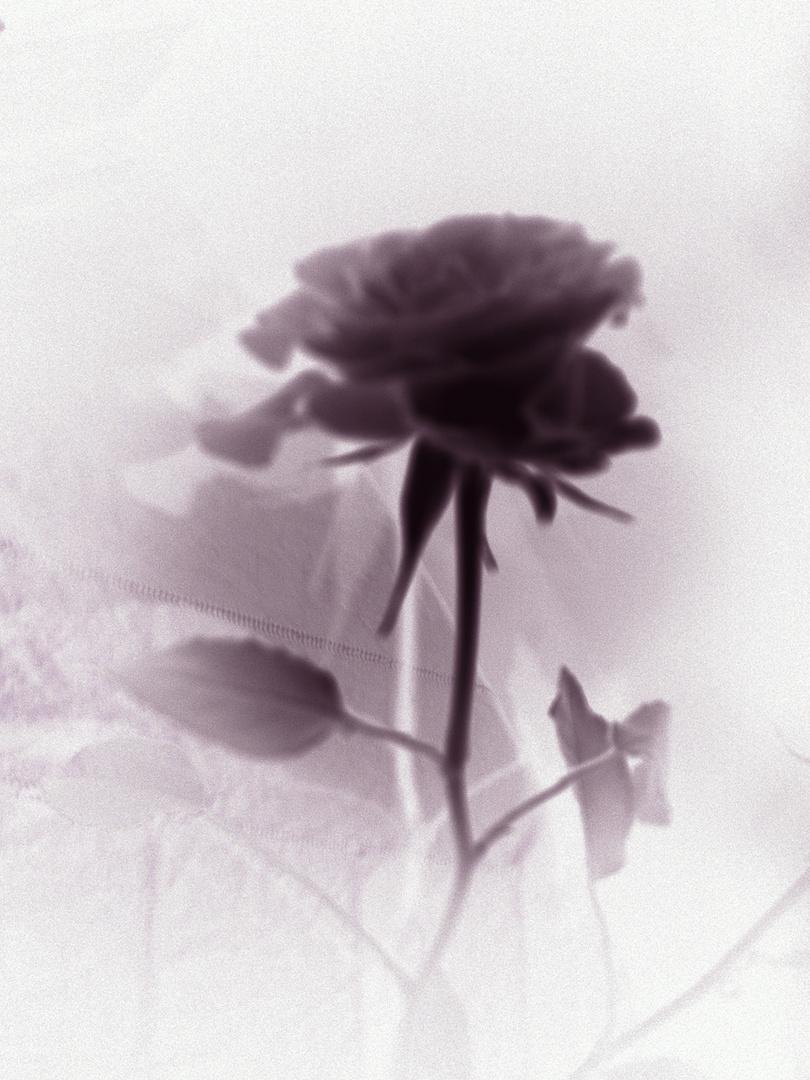 Eine Rose in einer besonderen Optik!!!