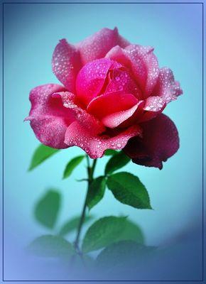 Eine Rose in meinem Garten