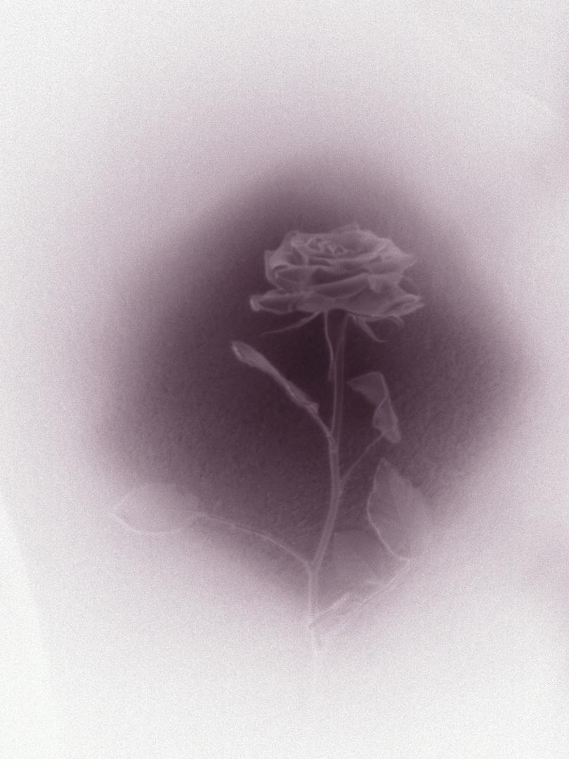 Eine Rose in schwarz/grau/weiß!!!