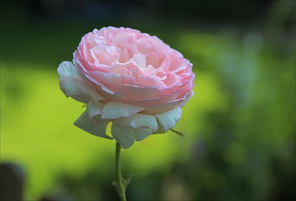 Eine Rose ist ...