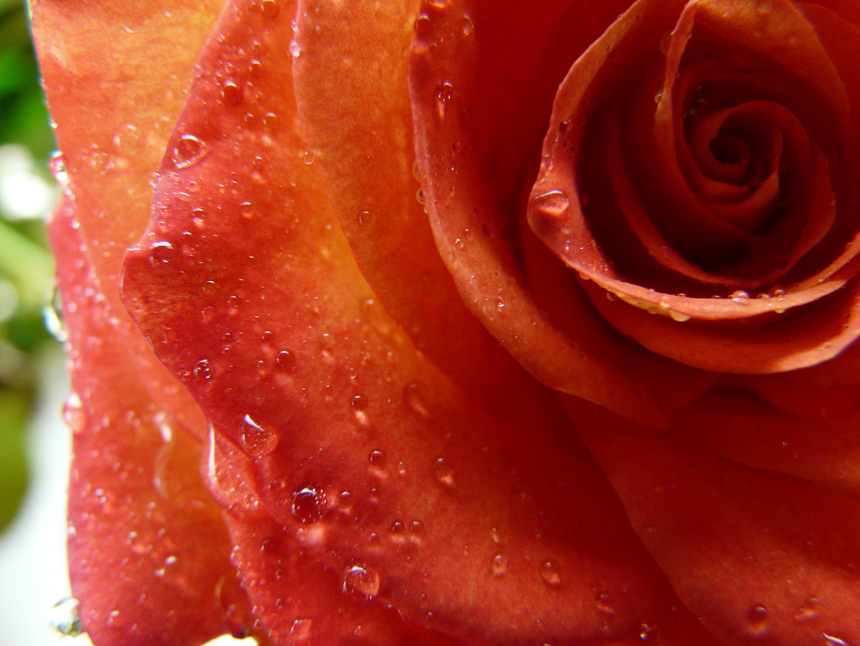 Eine Rose ist eine Rose eine Rose...