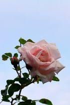 Eine Rose ist eine Rose ... I
