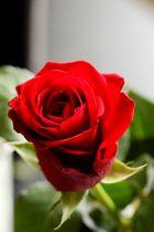 Eine Rose ist eine Rose .... III
