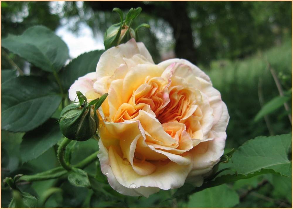Eine Rose ist eine Rose ist eine Rose.....