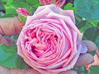 ... eine Rose ist eine Rose ist eine Rose ...