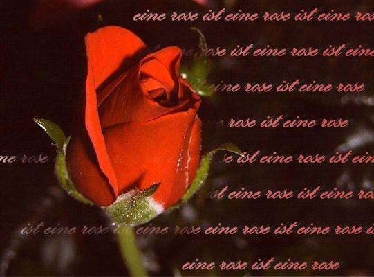 eine rose ist eine rose ist eine rose ist ...
