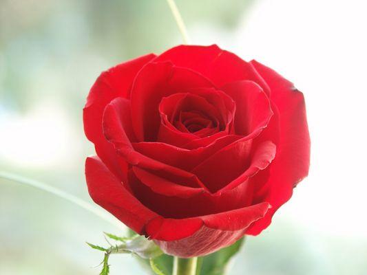 Eine Rose (Kritiken gesucht)