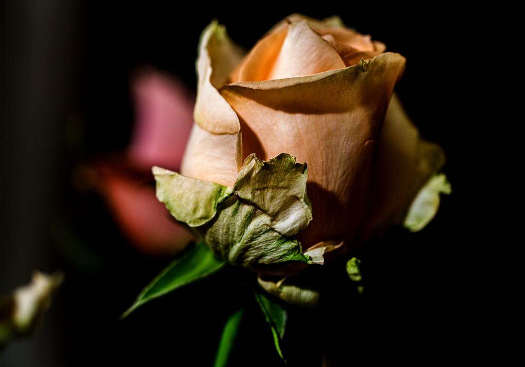 Eine Rose mehr...