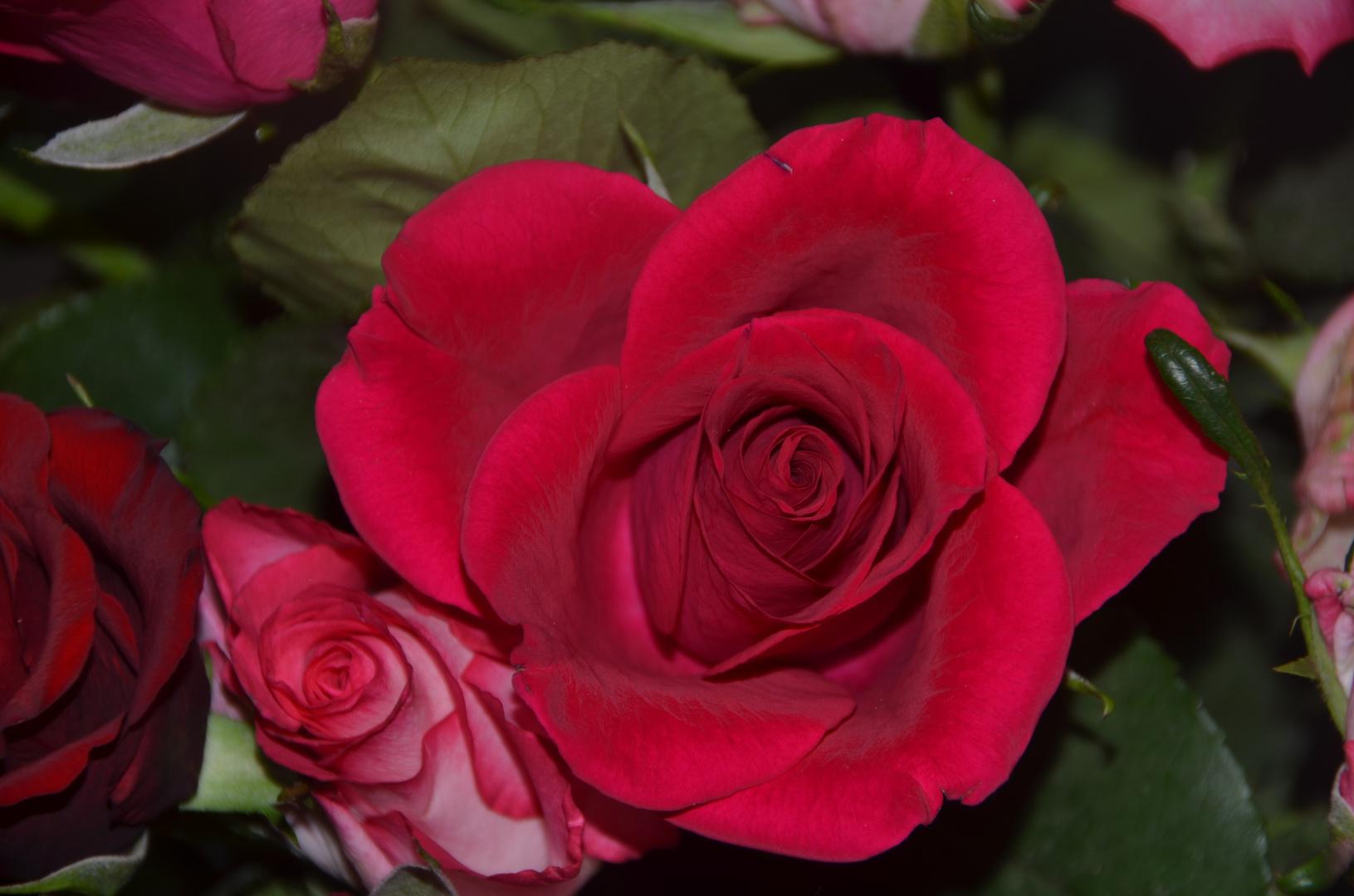 Eine Rose mit Knospe :)