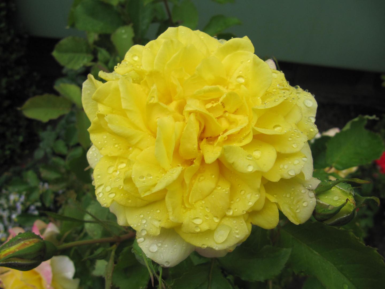Eine Rose mit Regentropfen