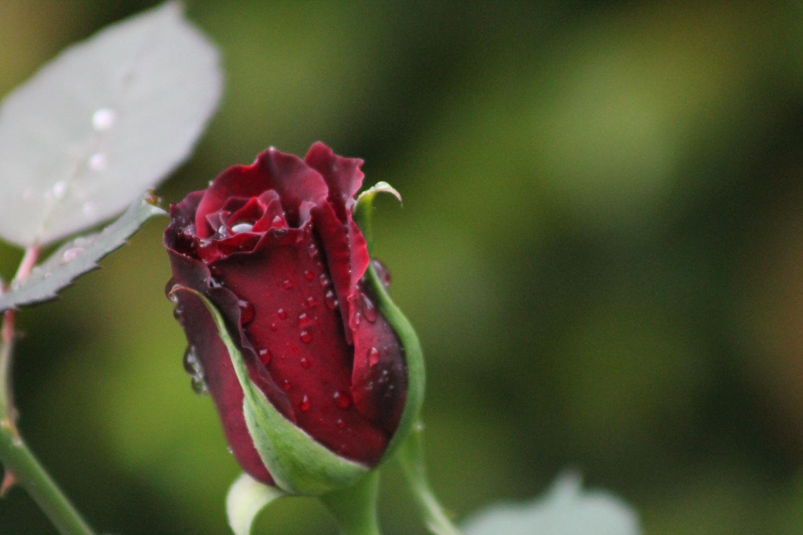 eine Rose nach dem Regen