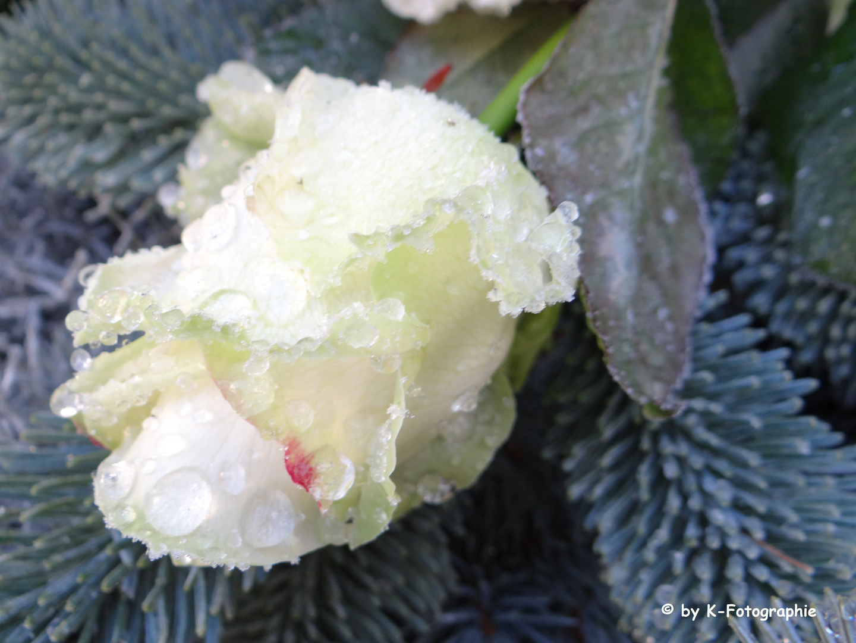 Eine Rose umhüllt von gefrorenem Wasser
