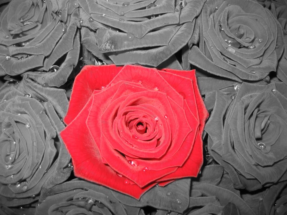 Eine Rose unter Rosen