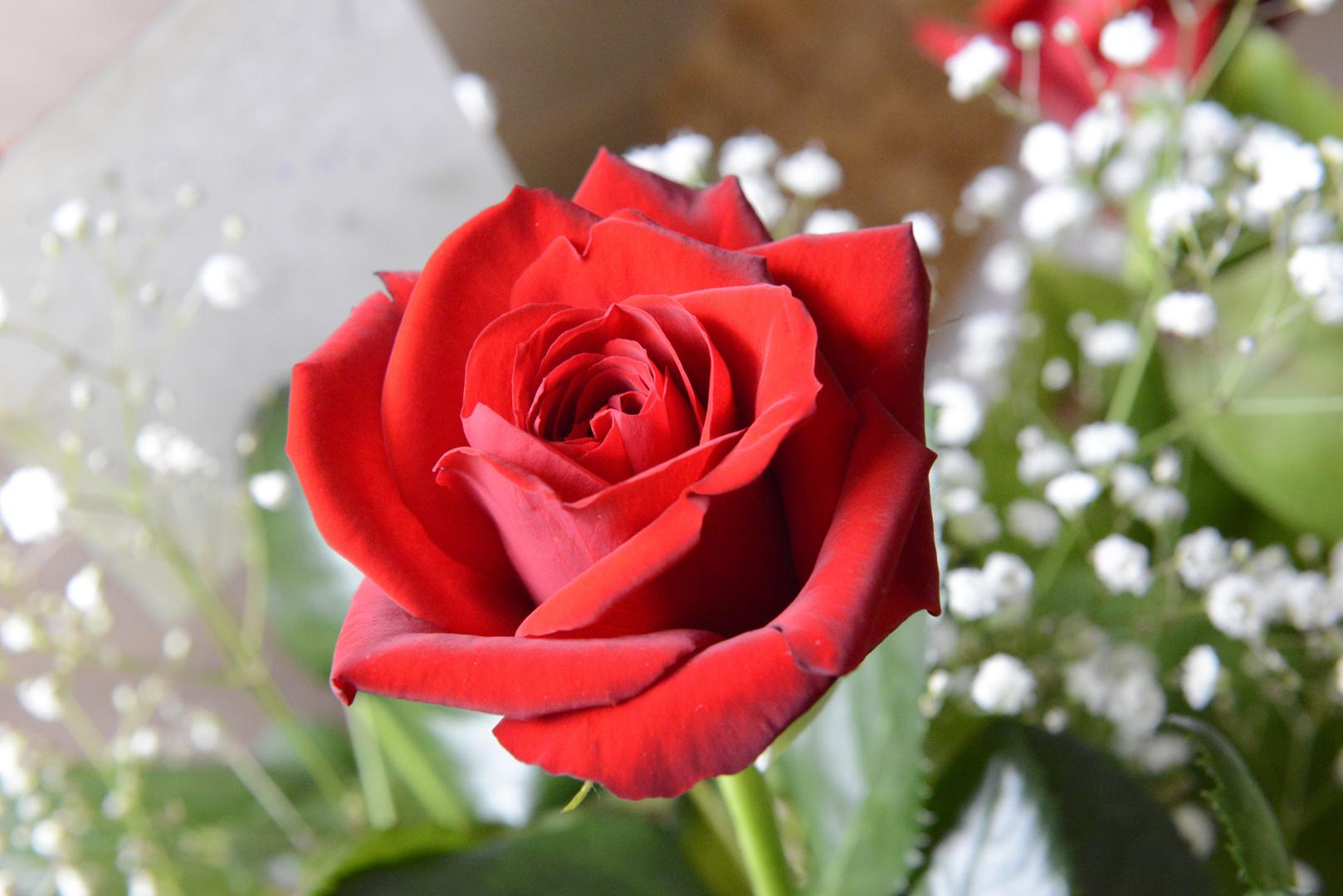 eine Rose von sieben