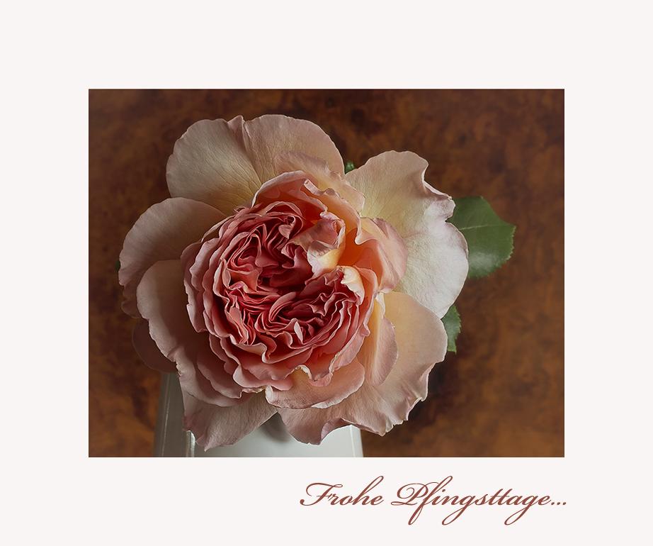 Eine Rose zu Pfingsten.....