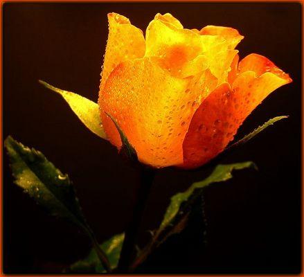 ...Eine Rose zum Geburtstag...