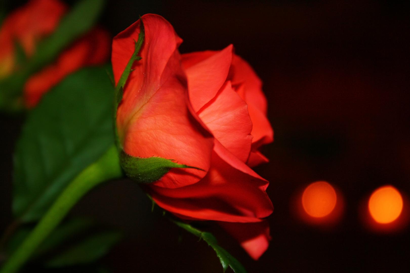 eine rose zum geburtstag foto bild pflanzen pilze flechten natur bilder auf fotocommunity. Black Bedroom Furniture Sets. Home Design Ideas