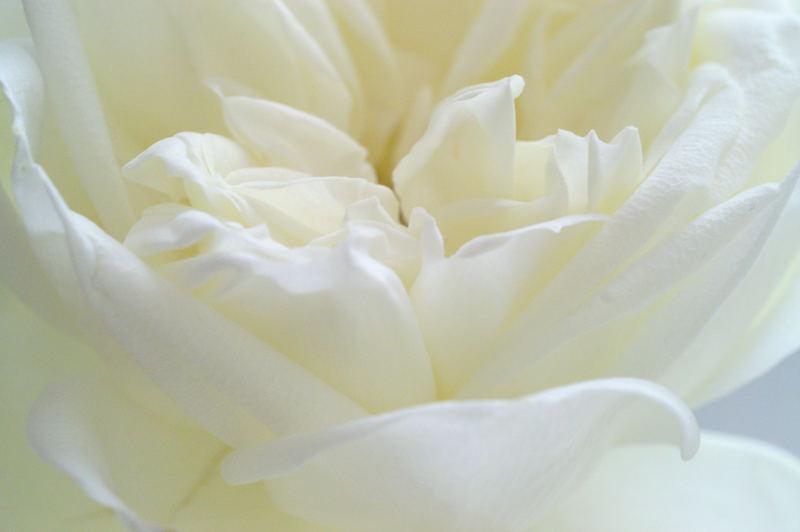 Eine Rose zum Hochzeitstag