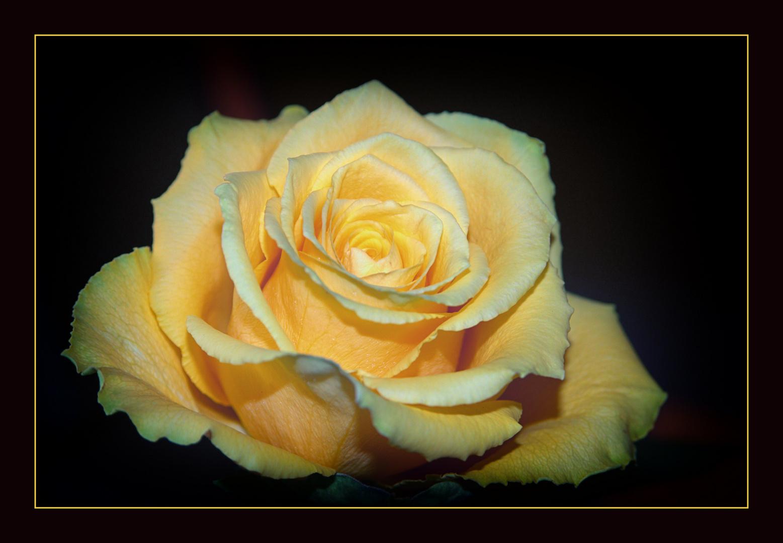 ******Eine Rose zum Mittwoch******