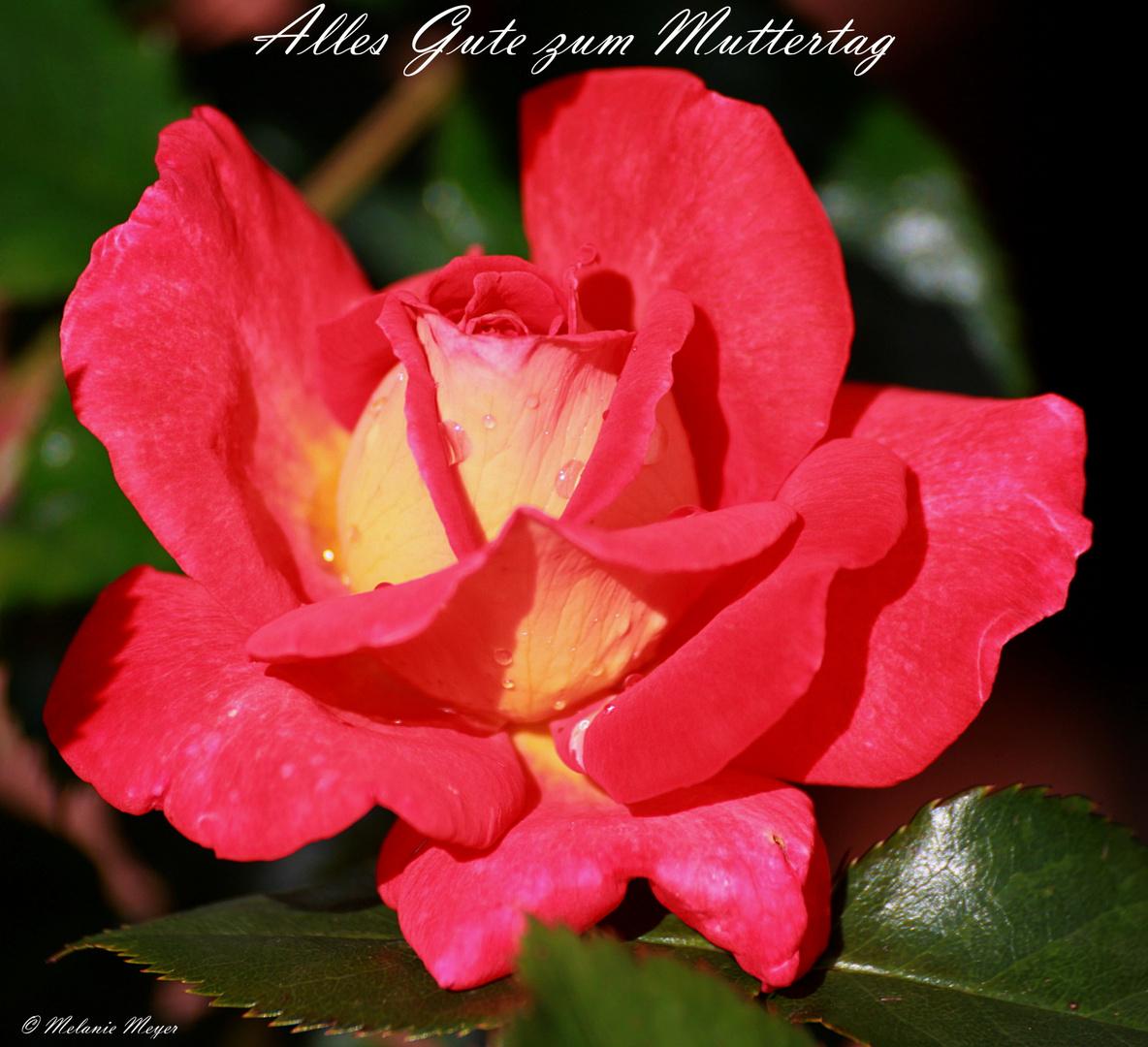 Eine Rose zum Muttertag