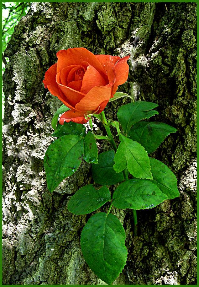 Eine Rose zum Sommeranfang
