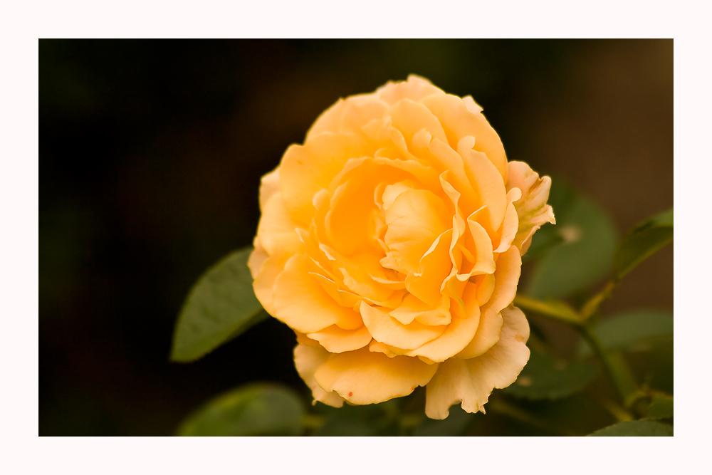 Eine Rose zum Wochenende