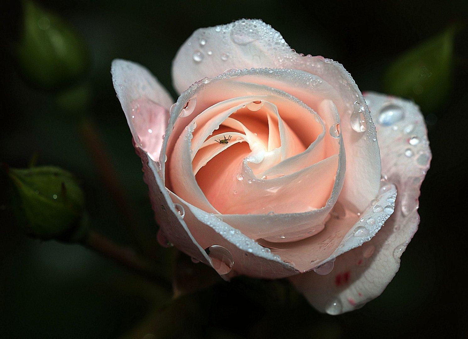 Eine Rose zum Wochenende......