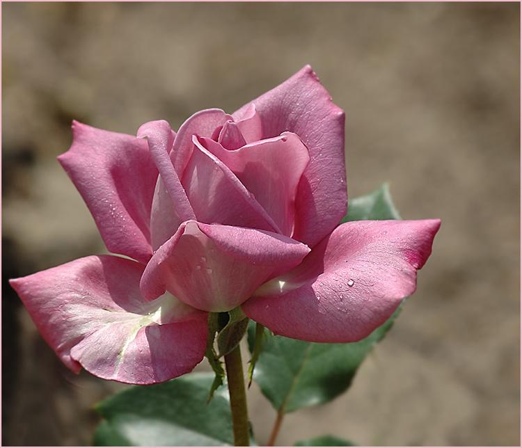 Eine Rosenblüte vom Juni...