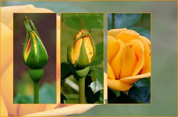 Eine Rosenzeit