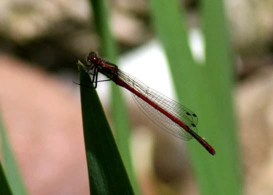 Eine rote Libelle