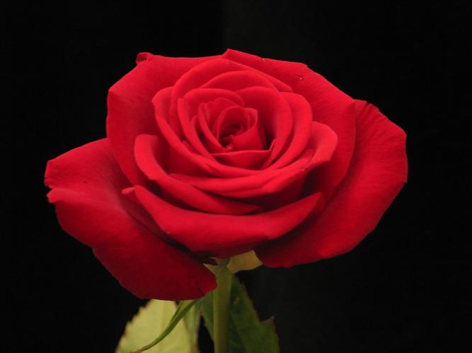 eine rote rose foto bild pflanzen pilze flechten. Black Bedroom Furniture Sets. Home Design Ideas