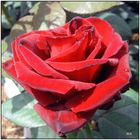 eine rote Rose.....