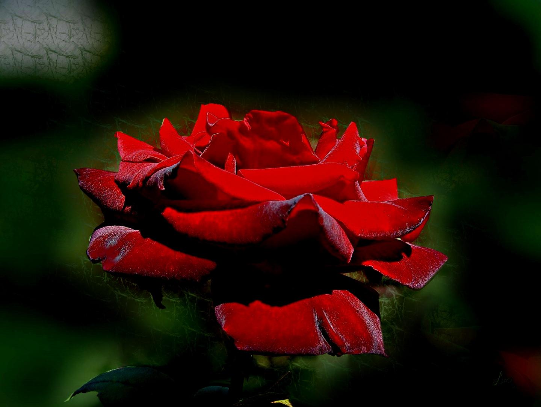 eine rote rose f r die liebende kopieren erw nscht. Black Bedroom Furniture Sets. Home Design Ideas