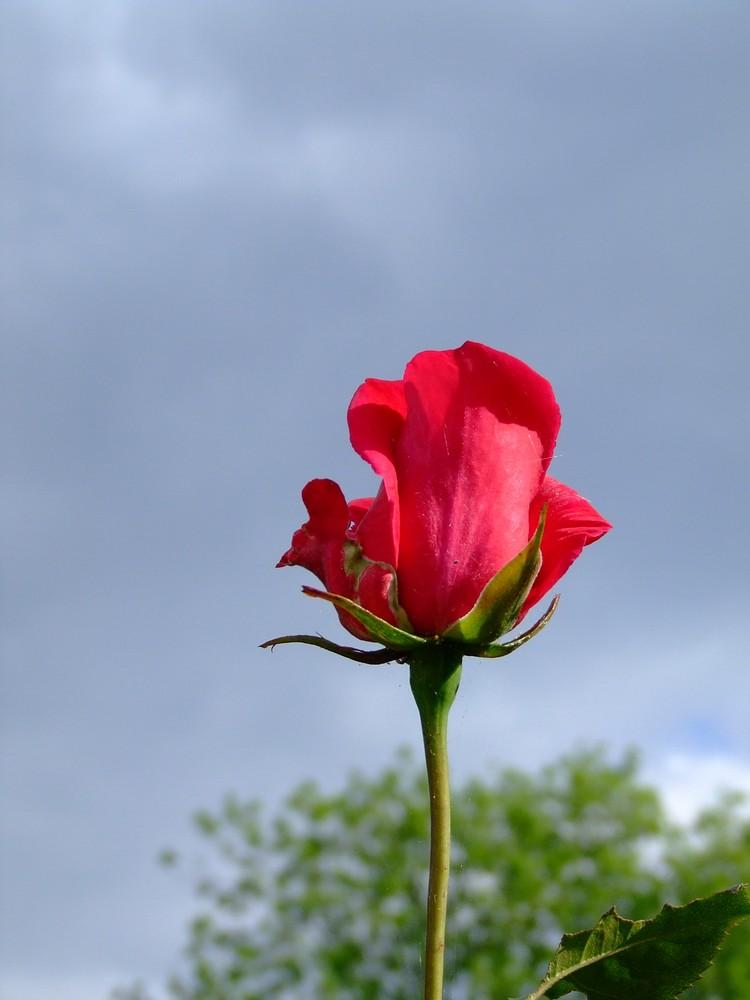eine rote Rose ist einfach wunderschön..........