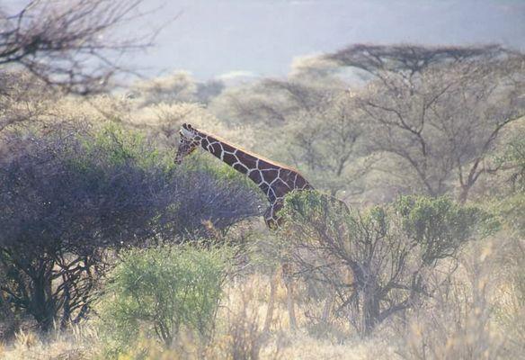 Eine Samburu-Giraffe taucht auf