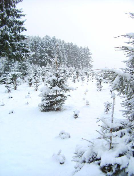 Eine Schneedecke überm Tannenwald