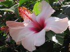 eine Schöne ----- Hibiskusblüte