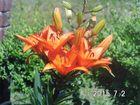 Eine schöne Lilie