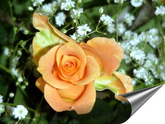 Eine schöne Rose