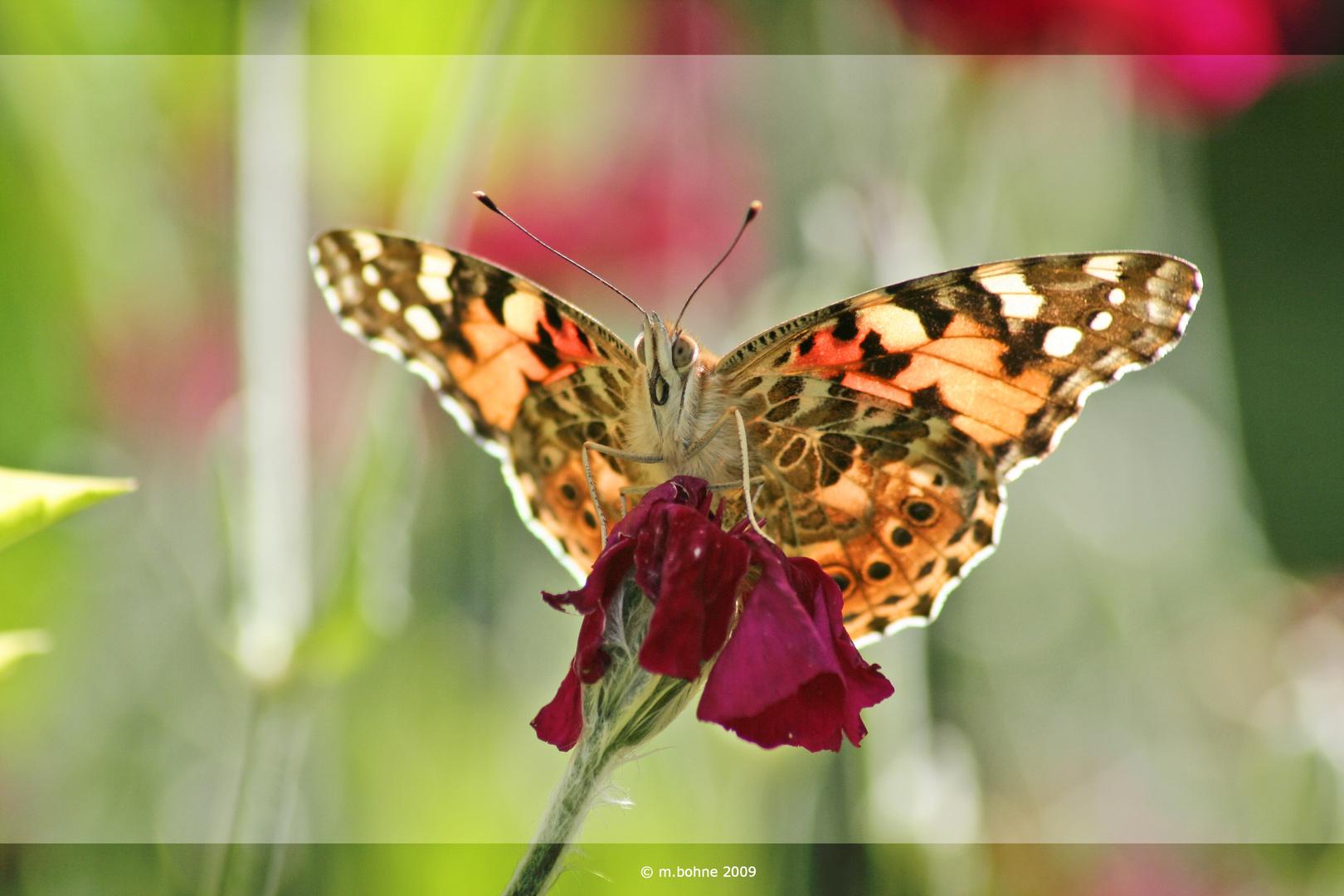 Eine Schönheit dieser Schmetterling !!!!