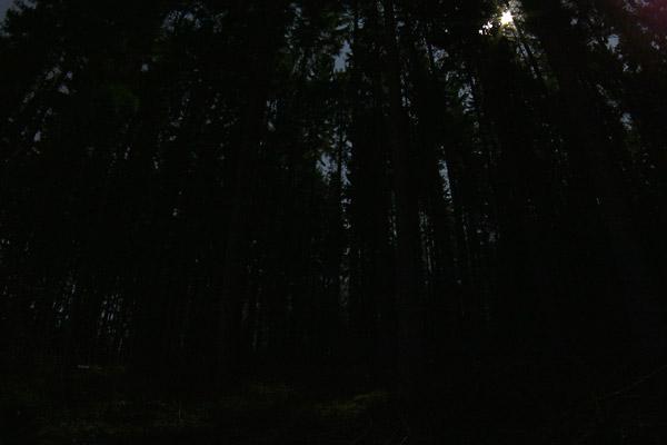 Eine Schwarzbär bei Nacht in einem dunklen Tannenwald
