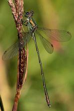 Eine sehr anmutiges überaus schlankes LIbellemännchen! Aber Name dieser Libellenart ???