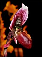eine seltene Orchidee